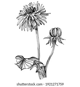 Dandelion flower. Floral botanical Taraxacum. blowball Isolated illustration element. Vector hand drawing wildflower for background, texture, wrapper pattern, frame or border.