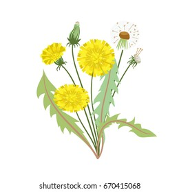 Dandelion flower with leaves on a white background. Vector illustration.