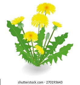 Dandelion flowers isolated on white background. Vector illustration.