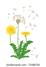 dandelion with flowers and seeds