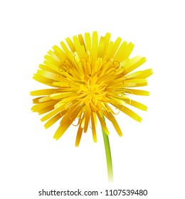 Dandelion officinale flower isolated on white background. Vector realistic icon illustration