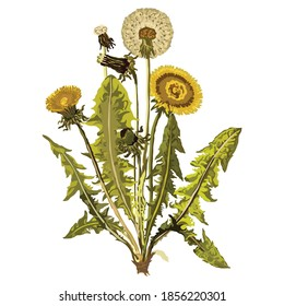 Dandelion is a plant with yellow flowers.Taraxacum officinale is the most common variety of this plant, and it grows in many parts of the world.Botanists consider dandelions to be herbs.