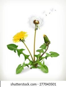 Dandelion summer flowers, vector illustration isolated on white background