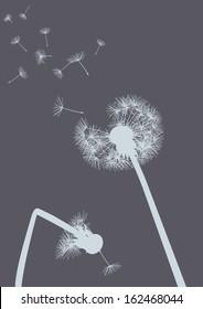 dandelions on grey background- one with broken stalk