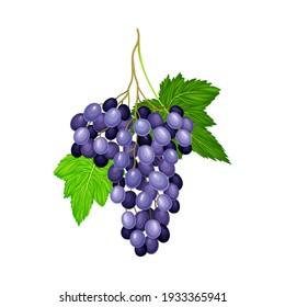 Dark Blue Grape with Ellipsoid Berries Growing in Cluster Vector Illustration