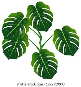 Dark green leaves of monstera or split-leaf philodendron (Monstera deliciosa).