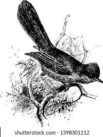 Dartford Warbler is a typical warbler from the warmer parts of western Europe vintage line drawing or engraving illustration.