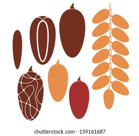 Date fruit. Vector illustration. Isolated fruit on white background