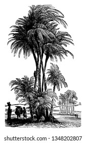 Date Palm of the Lower Euphrates is one of the oldest fruit trees in the world, vintage line drawing or engraving illustration.