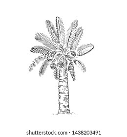 Date Palm Tree. Sketch of Dates Fruit on palm isolated on white