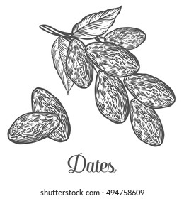 Dates. Hand drawn vector illustration of dried dates (Ramadan Iftar food) organic food date palm on white background.