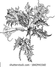 Datura stramonium, Thorn apple or Devil's snare. Hand drawn detailed vector botanical illustration, T-shirt print, tattoo design in dotwork style. Poisonous plant used in traditional medicine.