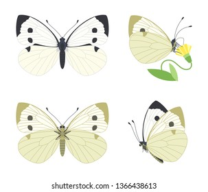 Day white butterfly Pieris brassicae family Pieridae. Vector set with different angles: side, top, bottom, while feeding on a flower.