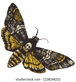 Death's head hawk moth. Hand drawn vector illustration for your natural design.