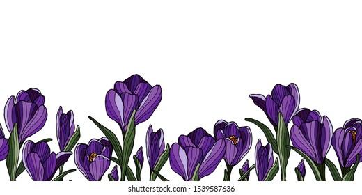 Decoration border with sketchy crocus flowers.  Springtime violet flower.