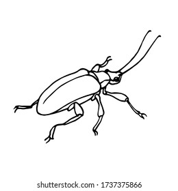 decorative beetle with long antennae, agricultural pest insect, chrysomelidae, vector illustration with black ink contour lines isolated on a white background in hand drawn style