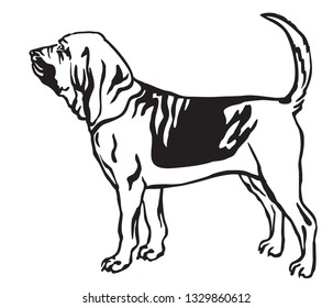 Decorative outline monochrome portrait of standing in profile Bloodhound Dog, vector isolated illustration in black color on white background