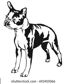 Decorative portrait of standing in profile boston terrier, vector isolated illustration in black color on white background