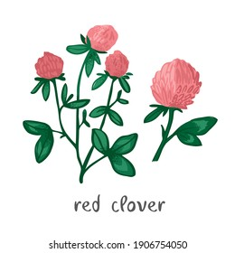 Decorative red clover plant with flowers isolated on white. Wild flower with medicinal properties for alternative, folk treatment. Symbol of nature and summer aesthetics. Botanical vector illustration
