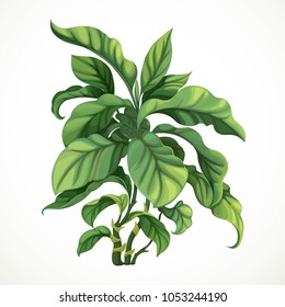 Decorative tropical tree ficus or diphenbafium isolated on white background