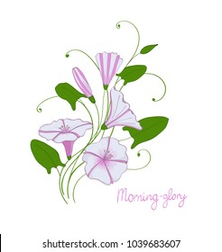 decorative wedding element convolvulus bouquet. White and pink flowers bindweed. isolated morning-glory.