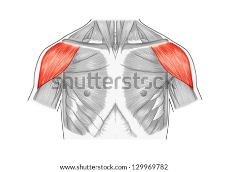 Deltoid Muscle Shoulder Muscles Chest Thorax Stock Vector Royalty
