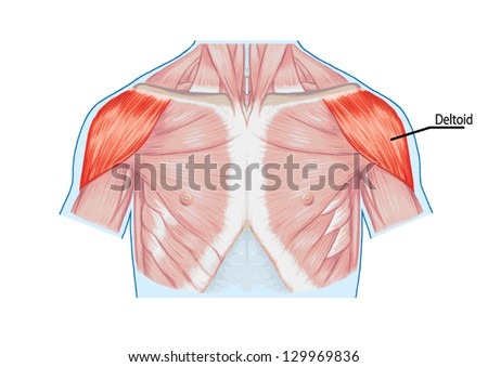Deltoid Muscle Shoulder Muscles Chest Thorax Stock Vector (Royalty ...