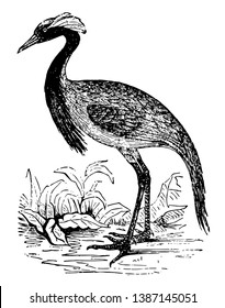 Demoiselle Crane is gifted with great powers of mimicry, vintage line drawing or engraving illustration.