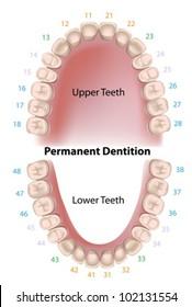 Dental notation permanent teeth