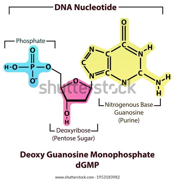 deoxy-guanosine-monophosphate-dgmp-nucle