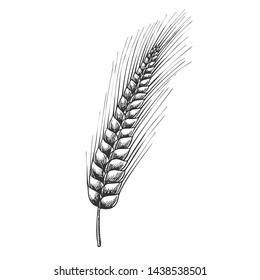 Designed Agriculture Grain Barley Spike Vector. Barley Is Used In Manufacture Of Beer And Kvass, Preparation Of Flour And Cereals, Medicine And Cosmetic. Black And White Drawn Cartoon Illustration