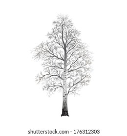 detached tree birch without leaves on a white background