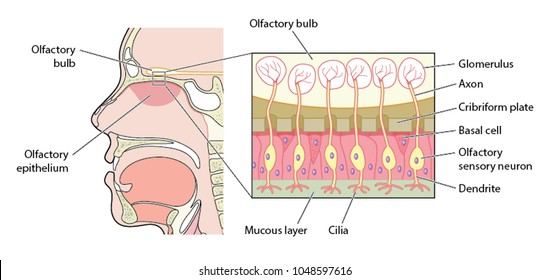 Detail of the olfactory bulb (organ of smell) showing the nerve cells between the bulb and the olfactory epithelium