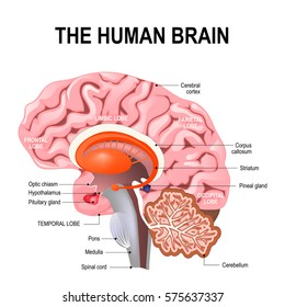 midbrain images, stock photos \u0026 vectors shutterstockdetailed anatomy of the human brain illustration showing the medulla, pons, cerebellum,