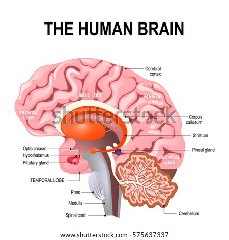 Detailed Anatomy Human Brain Illustration Showing Stock Vector ...