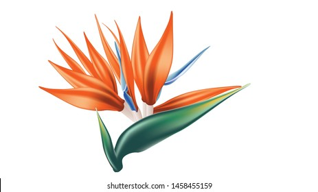 Detailed bird of paradise, strelitzia exotic flower illustration.