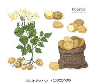 Detailed botanical drawings of potato plant with flowers, tubers and vegetables in bag. Edible tuberous crop isolated on white background. Colorful hand drawn vector illustration in vintage style