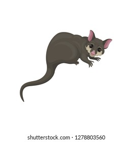 Detailed flat vector icon of brushtail possum with pink nose and ears. Australian marsupial animal. Wild creature