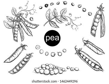 Detailed hand drawn black and white vector illustration set peas, leaf. sketch.