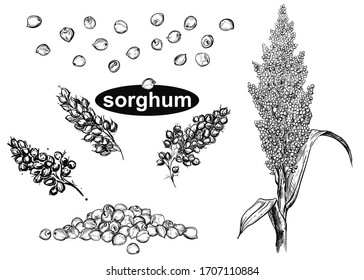 Detailed hand drawn black and white illustration set of sorghum branch, leaf, flower. sketch. Vector. Elements in graphic style
