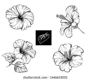 Detailed hand drawn ink black and white illustration set of hibiscus, leaf. sketch. Vector eps 8