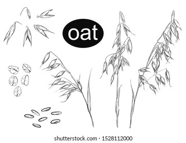 Detailed hand drawn ink black and white illustration set of oat, grain, oatmeal, leaf. sketch. Vector.