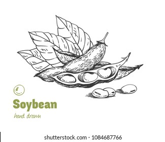 Detailed hand drawn vector black and white illustration of green soya beans, pods and leaves