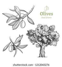 Detailed hand drawn vector black and white illustration of olive tree and fruits with leaves