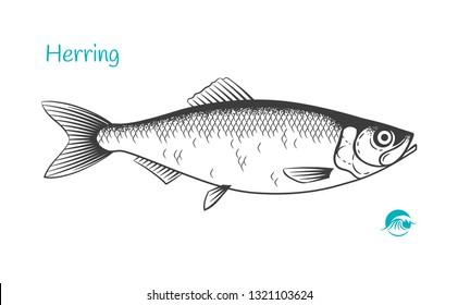 Royalty Free Herring Fish Drawing Stock Images Photos