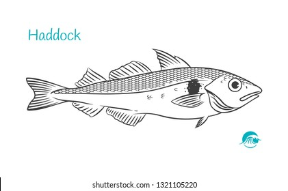 Detailed hand drawn vector black and white illustration of Haddock fish