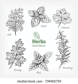 Detailed hand drawn vector black and white illustration of culinary herbs. Dill, basil, cilantro, parsley, rosemary, mint.