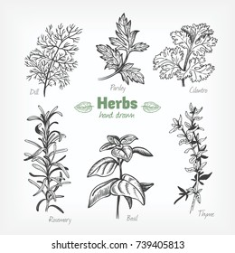 Detailed hand drawn vector black and white illustration of culinary herbs. Dill, basil, cilantro, parsley, rosemary, thyme.