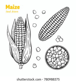 Detailed hand drawn vector black and white illustration of maize kernels and ears with leaves.