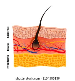 Detailed human skin structure with hair, medical illustration isolated on white